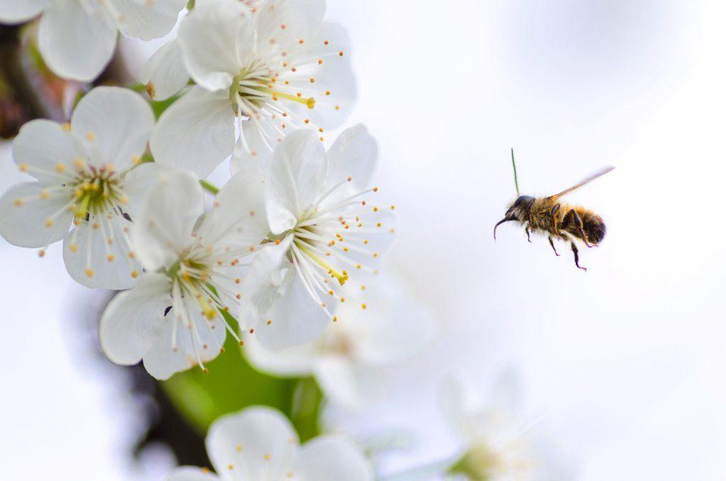 Pierzga pszczele jest antidotum na nawracające infekcje.